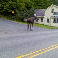 A 2013 photo of a moose on the Mountain Road in Stowe.