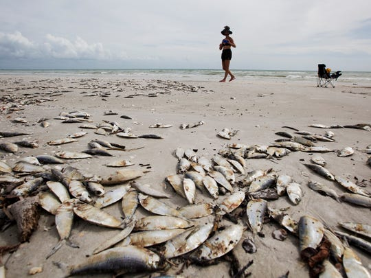 Part time Sanibel Island resident, JV Katz documents the dead fish that is littering the beach on Sanibel Island on Thursday.  Red tide is causing fish kills in Lee County waters.  Recent counts along the beach has been as high as 500,000 cells per liter this week.