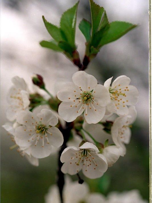 635969157263294199-cherry-050698-blooms-ka.JPG