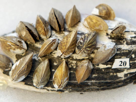 A freshwater Ohio River mussel from the field station is covered with an invasive species of zebra mussel that can eventually kill the freshwater mussel.