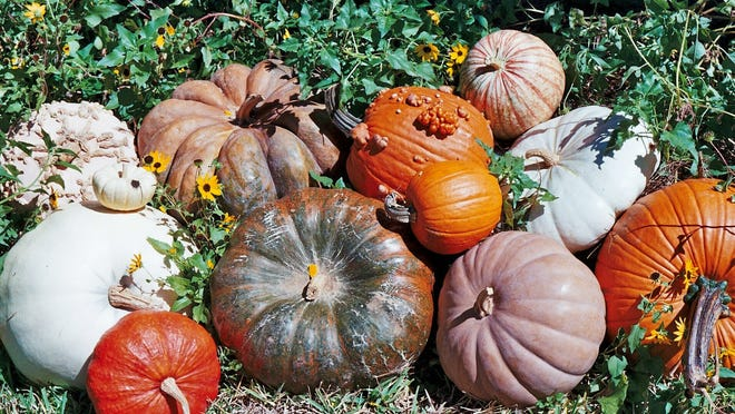 Heirloom and decorative pumpkins in many varieties are available at Bailey's Farmer's Market.