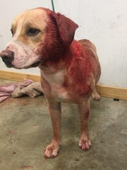 This dog was shot Tuesday morning in the 300 block