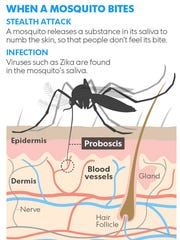 A graphic showing how certain types of mosquitoes bite