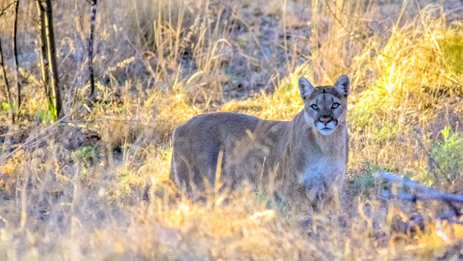 A mountain lion such as this one was spotted in the city limits of Silver City. Silver City Police Chief Ed Reynolds asks anyone seeing the mountain lion is asked to call the Grant County Reginal Dispatch Authority at (575) 388-8840. This mountain lion was seen near Red Rock.