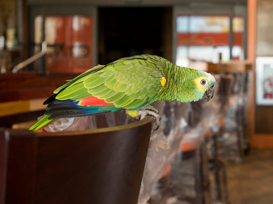 A perched Dino the parrot gets set to take flight at Mido's Coffee shop in Pensacola on Thursday, March 15, 2018.  Jimmie Toms found the stray parrot a couple of weeks ago and reunited Dino with his owner Kierstyn Hussin after tracking her down.