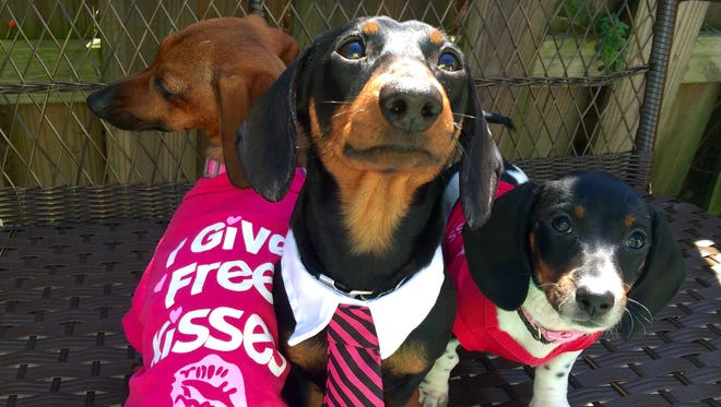 Skeeter, Tad and Minnow are gearing up to attend Saturday's Petpawloosa in Waynesboro. The three dachshunds are owned by Traci Moyer.