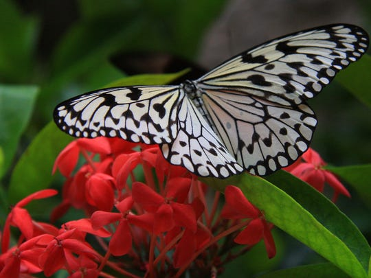 All kinds of species fly free in the Butterfly Aviary.