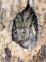 Dave Haas found a screech owl in a tree. He's developed an interest in birding because of his son, Josh.