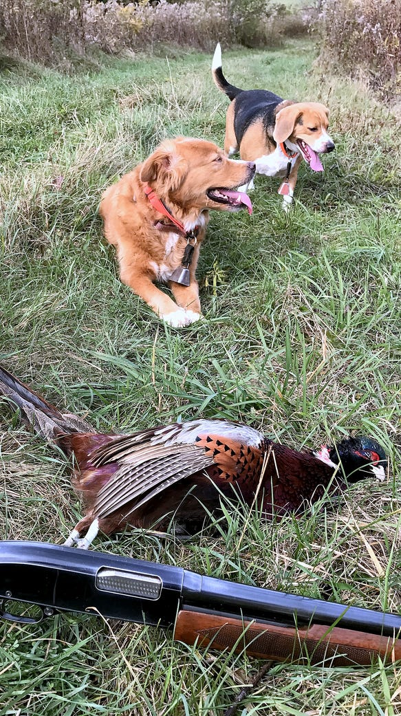 Malibu and R.J. relax after a successful pheasant hunt