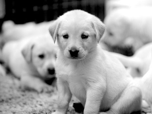 Puppy brokers