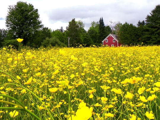 KOvalLittle House in the Buttercups [Lake Elore].jpg