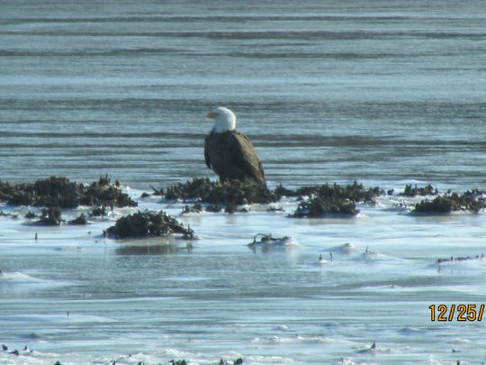 This bald eagle was spotted near Port Penn by a reader on Christmas Day 2013.