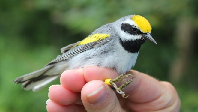 A banded New Jersey golden-winged warbler.