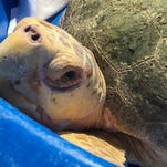 Four rehabilitated sea turtles were released Thursday morning at Nance Park in Indialantic.