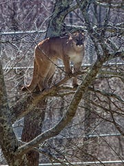 Trinity, a 2-year-old Western cougar, rises to the occasion. Upon entering her new habitat at Grandfather Mountain for  the first time on Wednesday, Nov. 15, Trinity took to the treetops to take in the scenery.