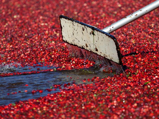 A worker uses a paddle to move cranberries floating