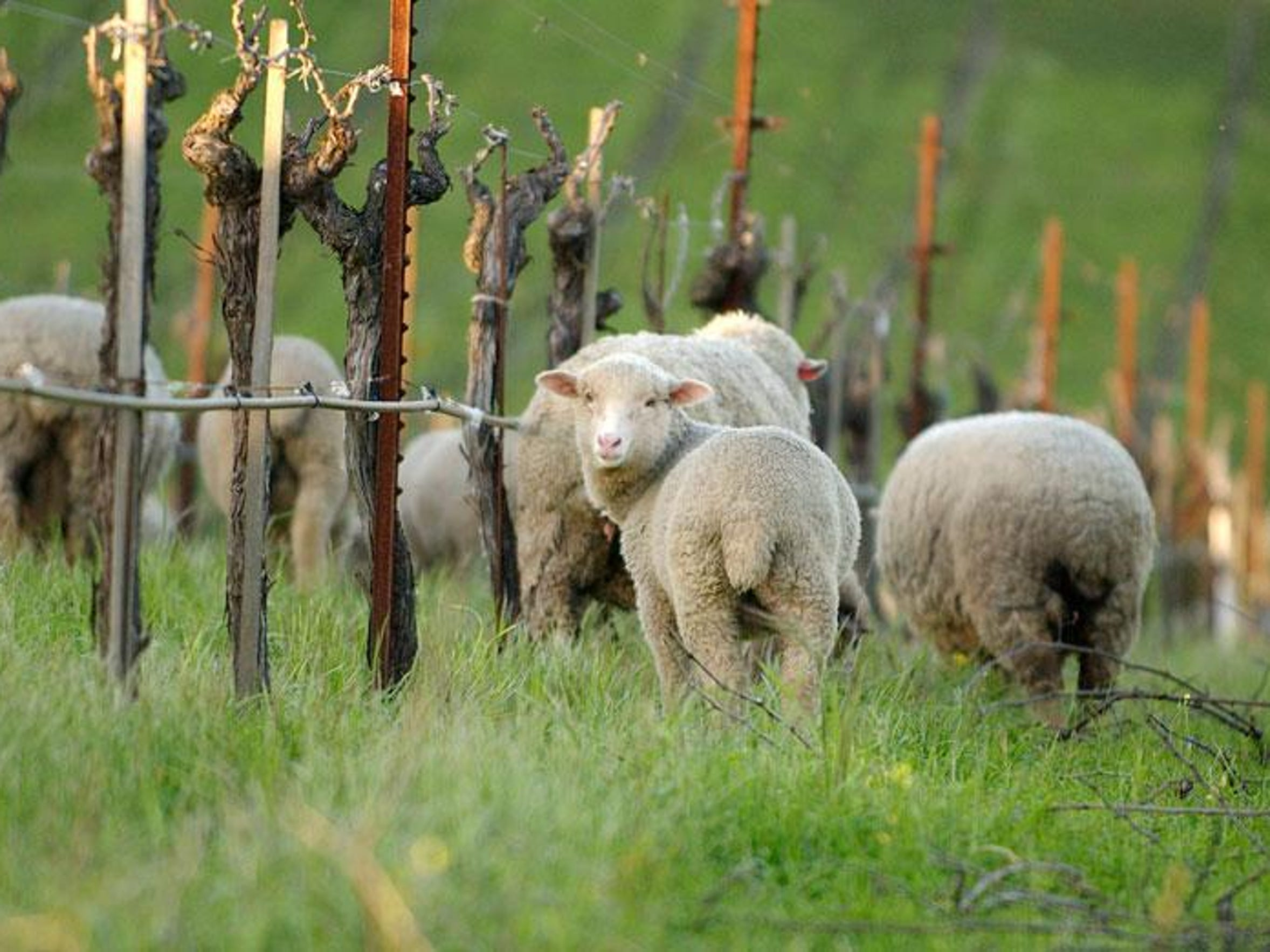 Winter wine 2012 lambs at Robert Sinskey