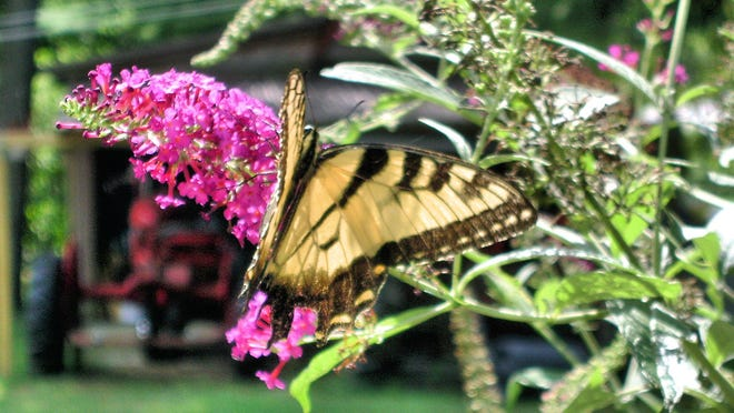 Town of Wappinger resident John Perillo recently submitted this photo of a butterfly on a butterfly bush in his backyard. Do you have a nature photo to share? Send it to dradwin@poughkeepsiejournal.com