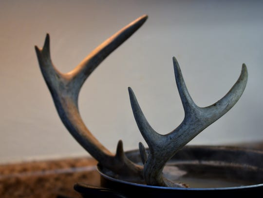 """""""Antler soup"""" -- the buck's antlers are being prepared"""