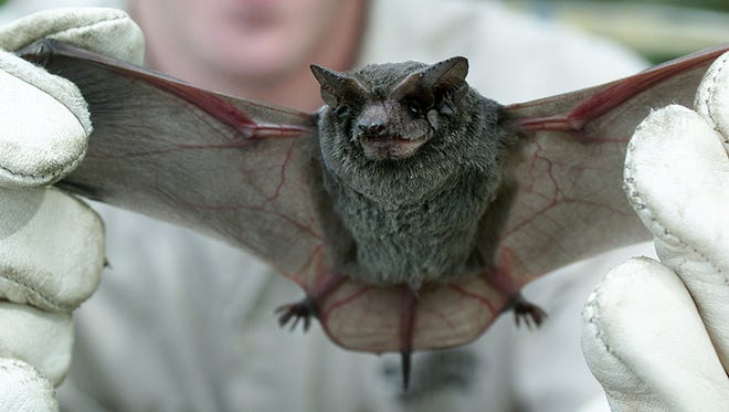 This brown bat was part of a large colony of removed from a central Mississippi apartment complex in 2001.