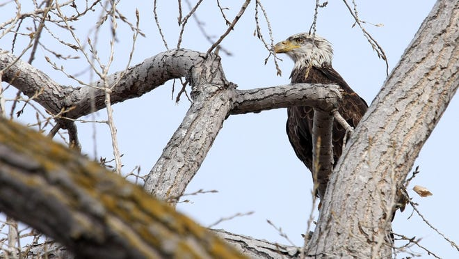 A bald eagle rests in a tree below the Gavins Point Dam near Yankton.
