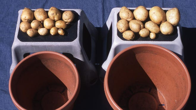 This photo shows yields of white potatoes grown in 12-inch, and 14-inch pots. As expected, the larger the pot, the larger the yield.