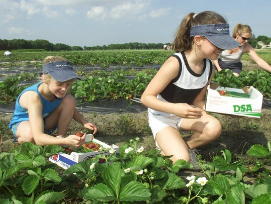 Kids picking strawberries at Giamarese Farm.