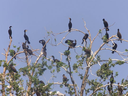 Double-crested cormorants dot trees on Lake Erie's
