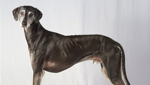 This undated photo provided by the American Kennel Club (AKC) shows a sloughi, also called the Arabian greyhound, one of two newcomers recognized by the AKC that can now compete in most of the organizations shows and competitions, though not at the prominent Westminster Kennel Club show until next year.