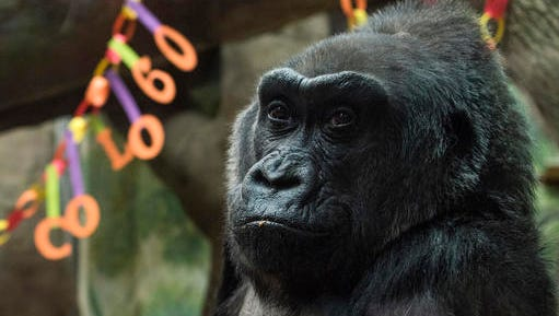 Colo, the nation's oldest living gorilla, sits inside of her enclosure during her 60th birthday party at the Columbus Zoo and Aquarium, Thursday, Dec. 22, 2016 in Columbus, Ohio. Colo was the first gorilla in the world born in a zoo and has surpassed the usual life expectancy of captive gorillas by two decades. Her longevity is putting a spotlight on the medical care, nutrition and up-to-date therapeutic techniques that are helping lengthen zoo animals' lives.