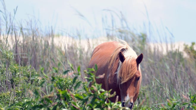 An Assateague pony peaks out from behind a bush at Assateague Island State Park on Thursday, July 30.