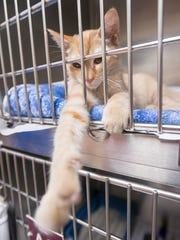 A playful kitten up for adoption at the Santa Rosa County Animal Shelter in Milton on Friday, July 6, 2018.
