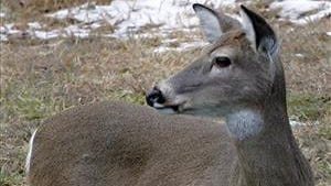 This is not the airborne deer.