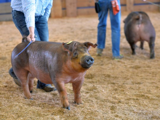 Competitors show swine  at the NYS Fair on Friday,