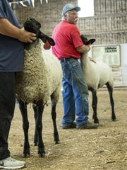 Byron Faulkner holds his sheep at attention in the judging ring during the Montana State Fair Open Sheep Show. Participants of all ages brought sheep, rams, goats, and many more to Saturday's event. Faulkner is in his fourth year of entering sheep in the competition.