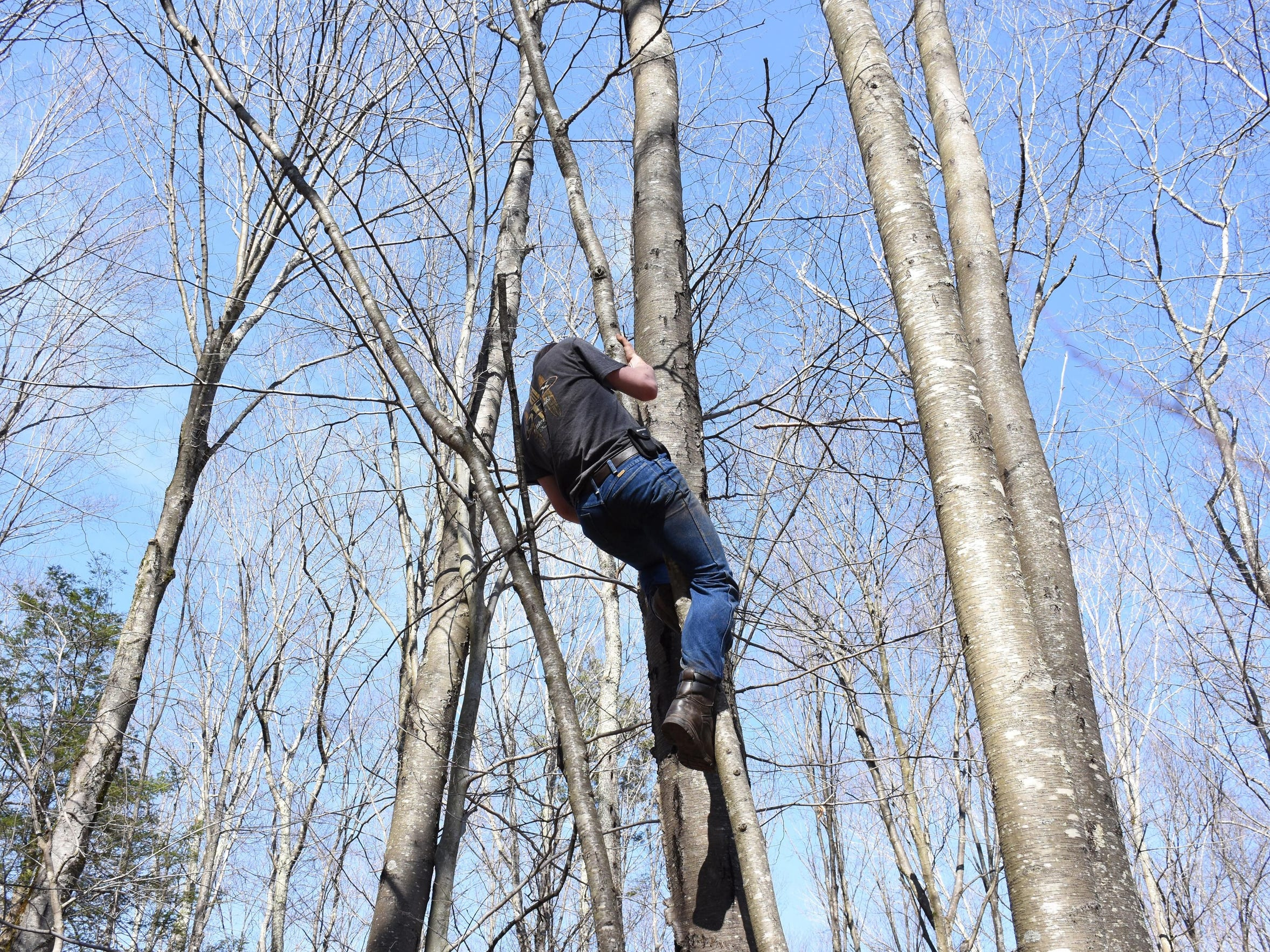 Luke Thacker climbs a birch to harvest some chaga.