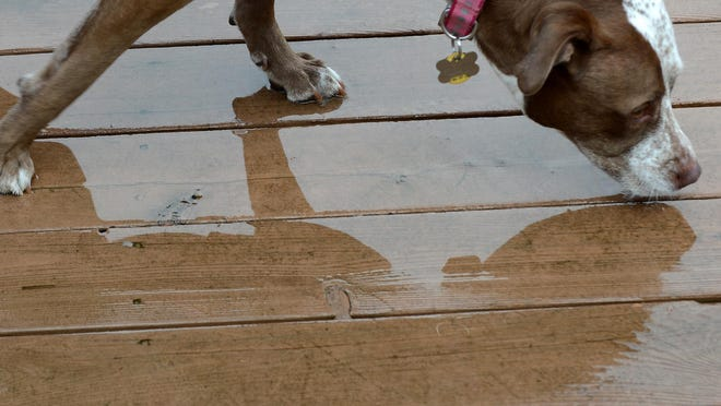 Sheri Prielipp-Falzono's dog Penny enjoys a sip of water from the deck of her South Lyon home on Dec. 14.