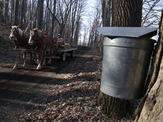 Teams of draft horses carry people to the sugar shack during the Maple Syrup Festival at Malabar Farm on Saturday afternoon.