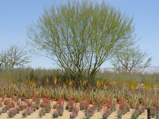 These foreground aloes planted in precise lines won't remain that way as plants flop and root as they do in nature.