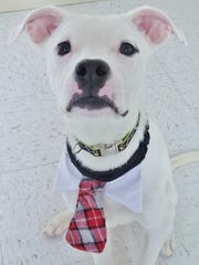 Toby is 7-month-old boxer mix puppy who is quite active