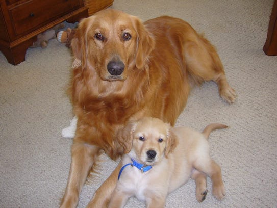Golden retrievers Brianna (left) and Marley sit together