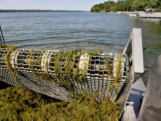 Because starry stonewort has no roots, once a bit catches on the Eco Harvester roller, it can pull in connected weeds from a 20-square-foot area. The Eco Harvester operated Aug. 24 on Lake Koronis near Paynesville.