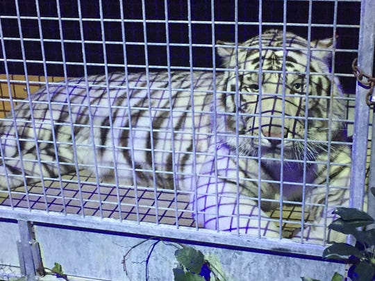 One of two — yes, two —Siberian tigers at Floyd Mayweather's