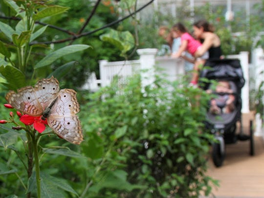 A white peacock butterfly is one of the many species of butterflies that can be seen at Butterfly Estates.