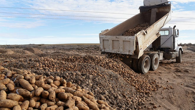 A truck dumps potatoes on Wednesday at a Navajo Agricultural Products Industry site south of NAPI's headquarters.