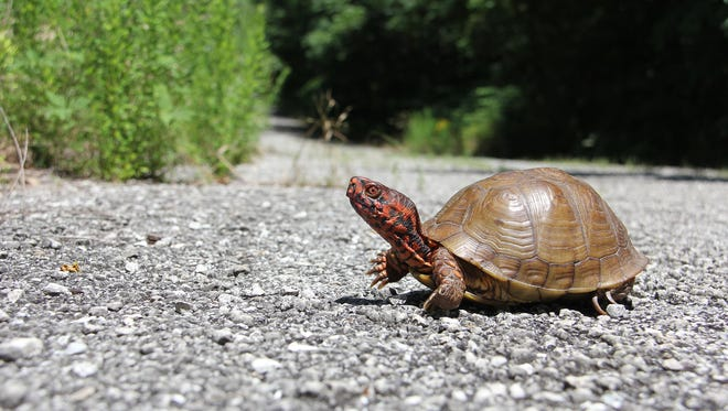 A Missouri three-toed box turtle freezes in midstride while crossing an abandoned roadway near Cedar Gap Trail at the northwest end of Stockton Lake.