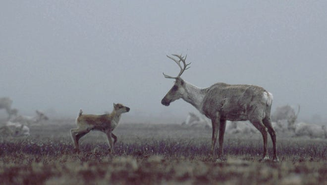 A Porcupine caribou herd mother and calf approach each other on the misty calving grounds of Alaska's Arctic National Wildlife Refuge.