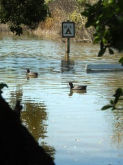 A 2013 photo shows ducks floating across a roadway