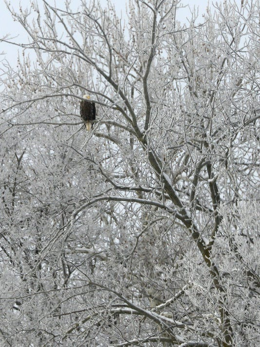 eagle in snow feature.JPG