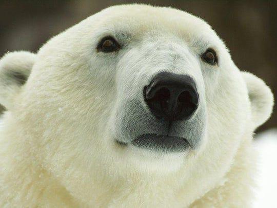 Coldilocks, the Philadelphia Zoo's polar bear, is 36 years old.